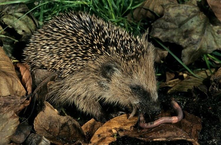 european-hedgehog-eating-a-common-earthworm